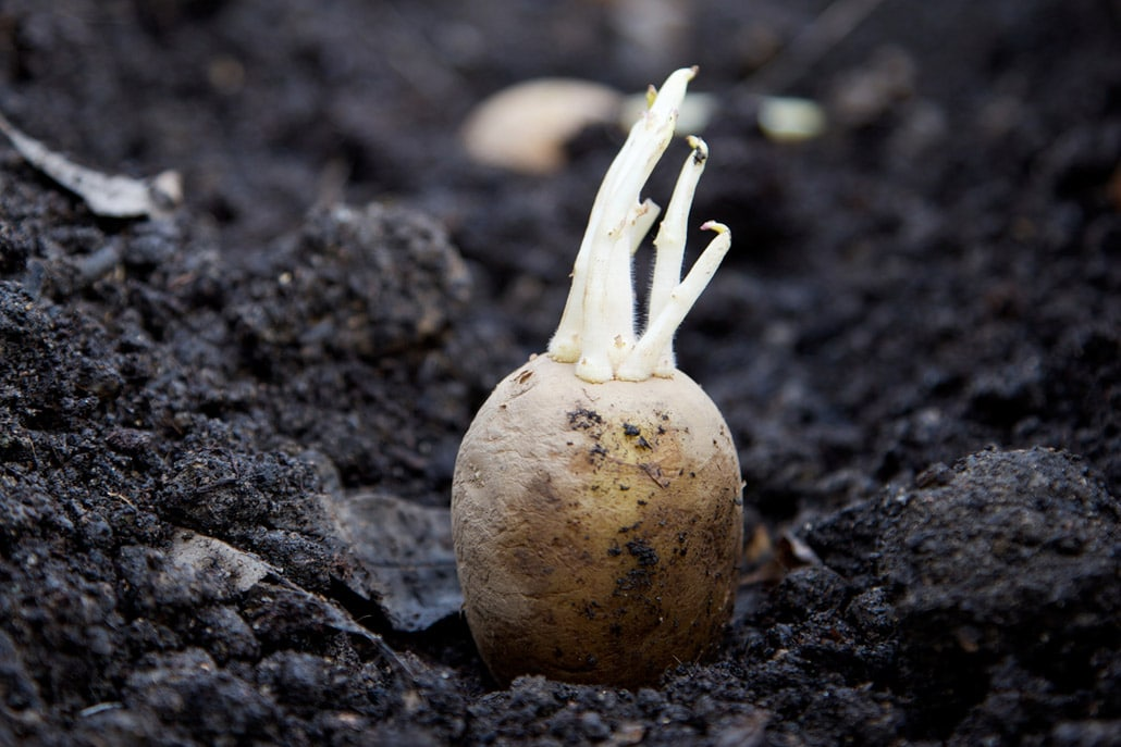 Why High Quality Potato Seed Is Important Spud Smart