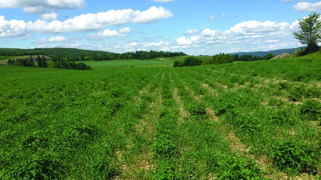 A weedy potato field