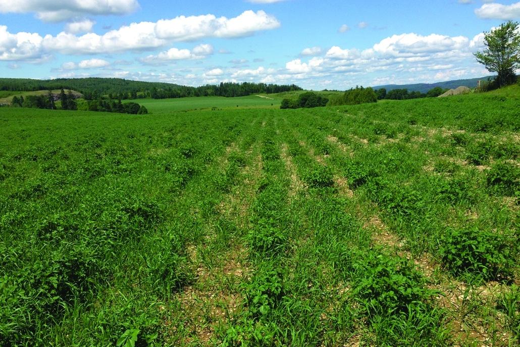 A weedy potato field
