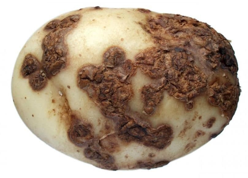 Common scab on a potato