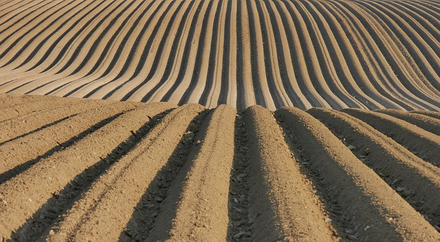Rows of planted potato hills