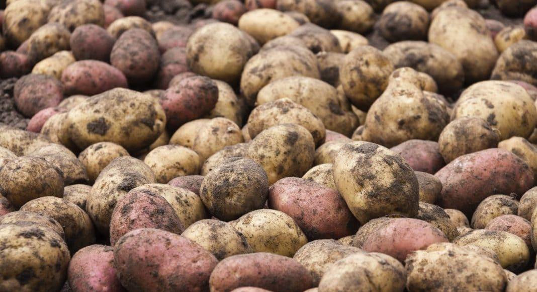 unwashed raw fresh potatoes, food background