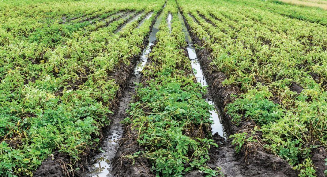 Flooded potato field