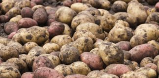 Unwashed raw fresh potatoes