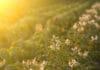 Potato field in sunset