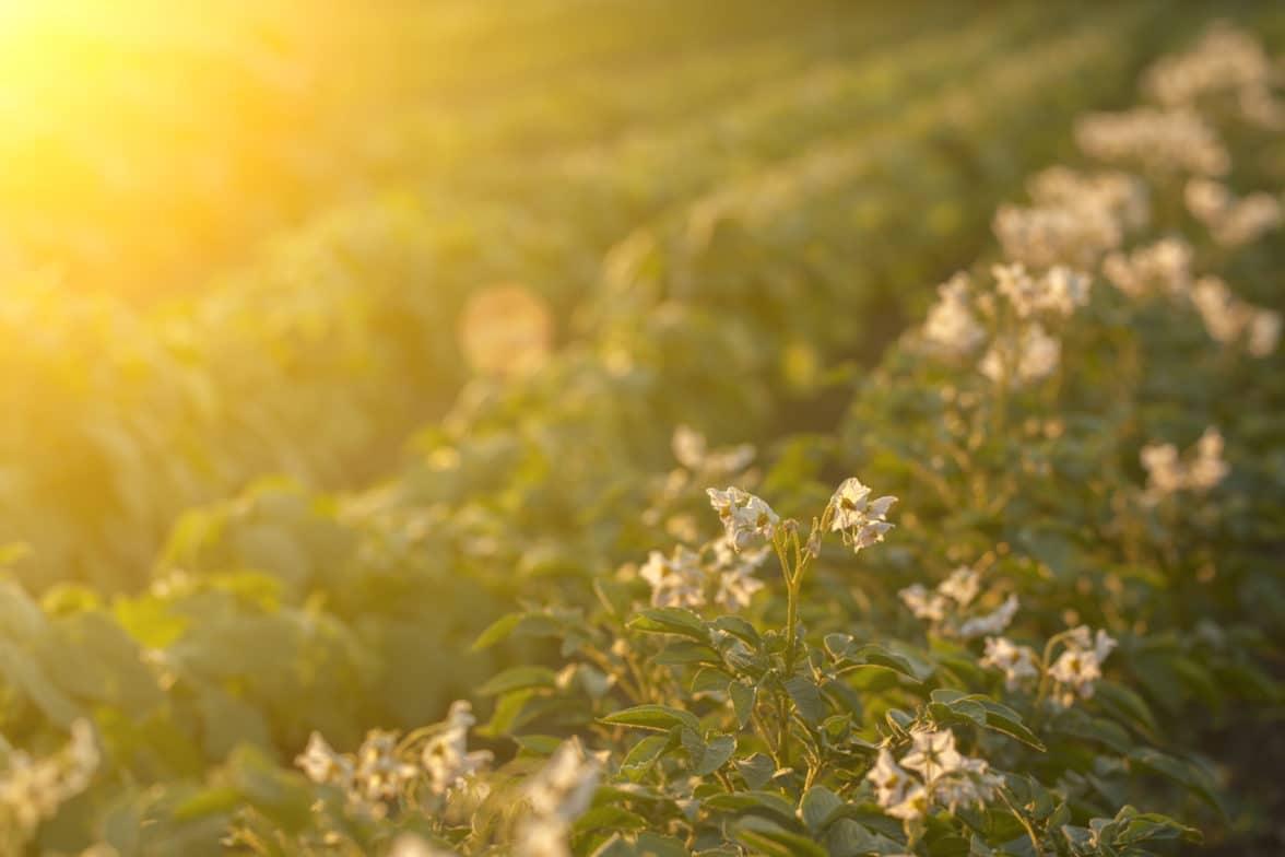 Potato field in sunset