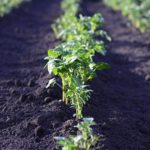 Potato plants in a row in a field