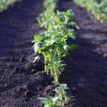 Potato plants in a row in a field