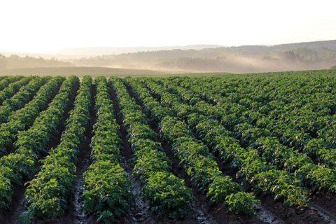 Potato plants growing in a field