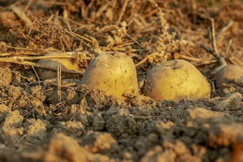 Fully grown potatoes poking out of the dirt