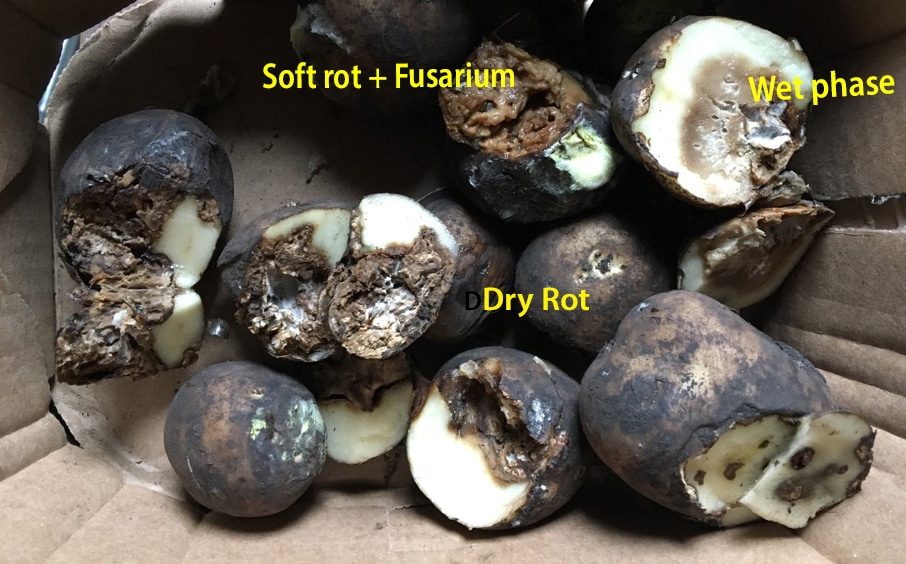Fusarium and Soft Rot