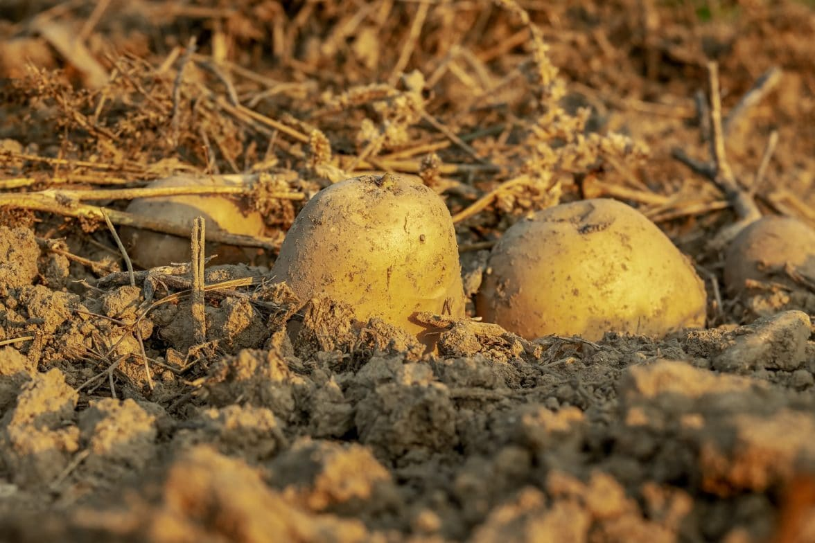 Potato seeds poking out of the dirt