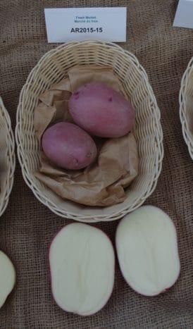 AC Heather potato variety