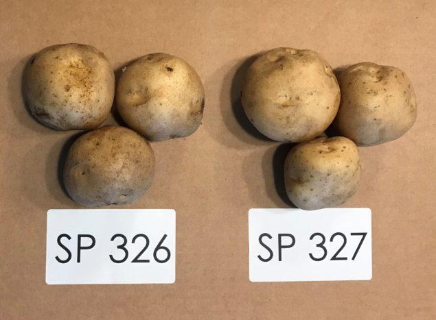 Sunrise Potato SP326 and SP327 potato varieties