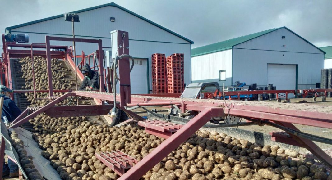 Potato sorting