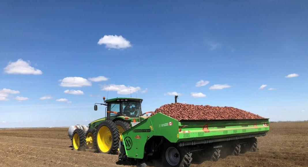Alberta potato harvest