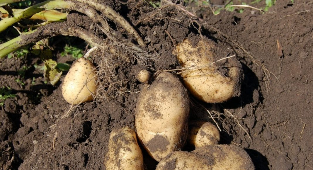 Freshly dug potatoes