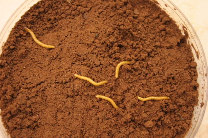 Wireworms