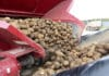 Harvest healthy tubers