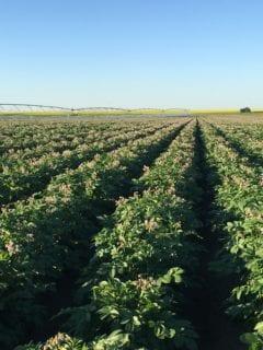 Flowering potato crop with irrigation