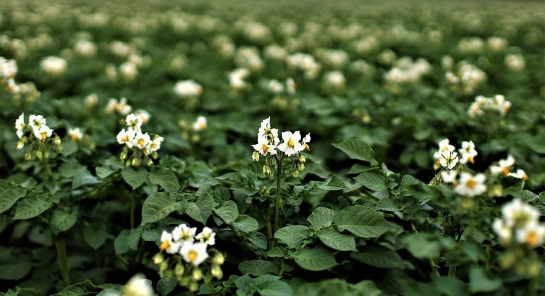 Flowering potato plant