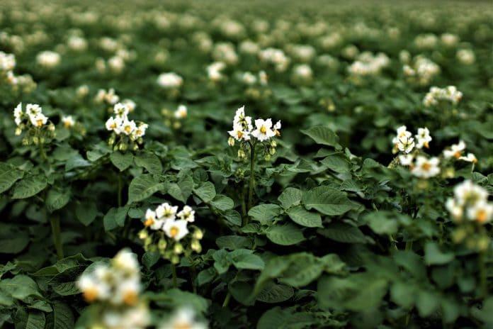 Flowering potato plant