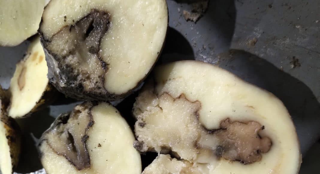Pectobacterium parmentieri on potatoes