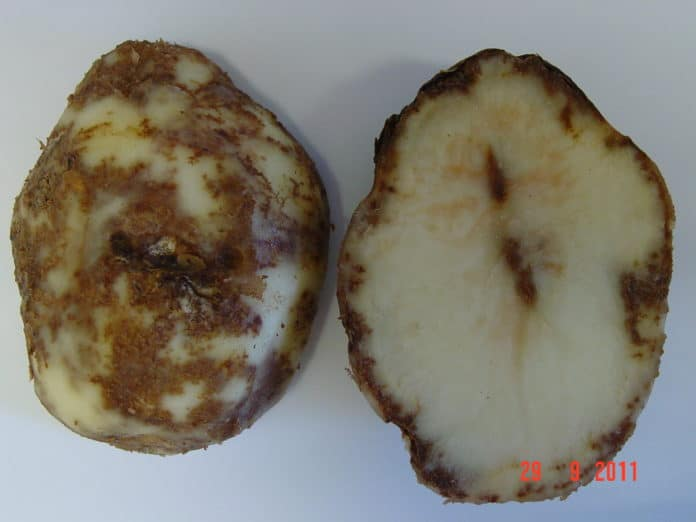 Potato tuber with late blight