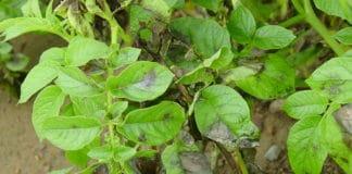 Late blight on potato leafs