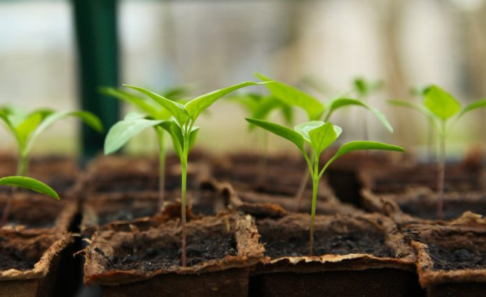 Seedling in a greenhouse