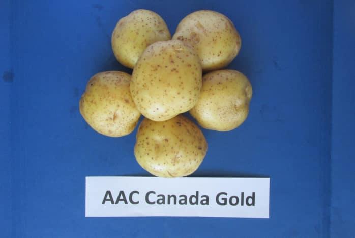 AAC Canada Gold-Dorée potato variety