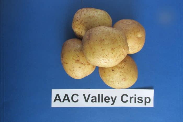 AAC Valley Crisp potato variety
