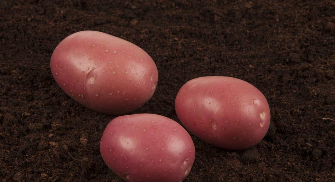 Torino potato variety
