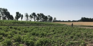 Volunteer potato plot