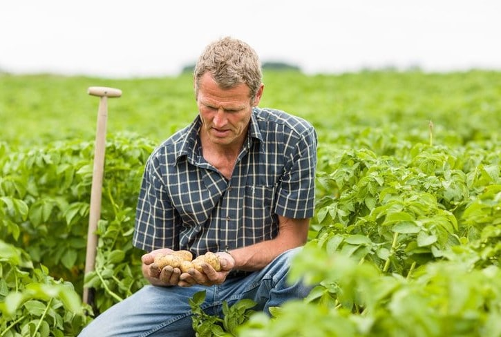 Grower in potato field