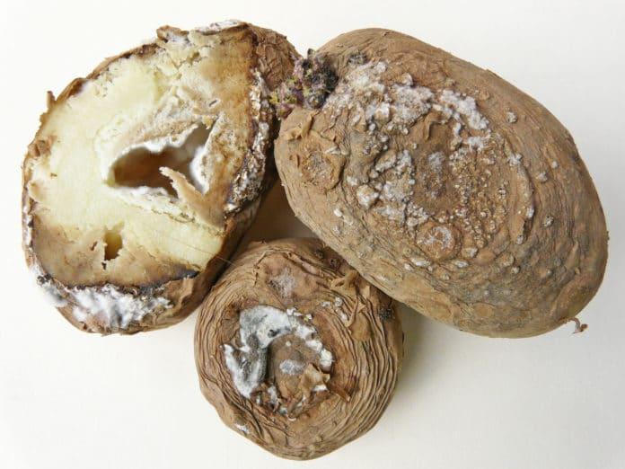 Fusarium dry rot seed piece