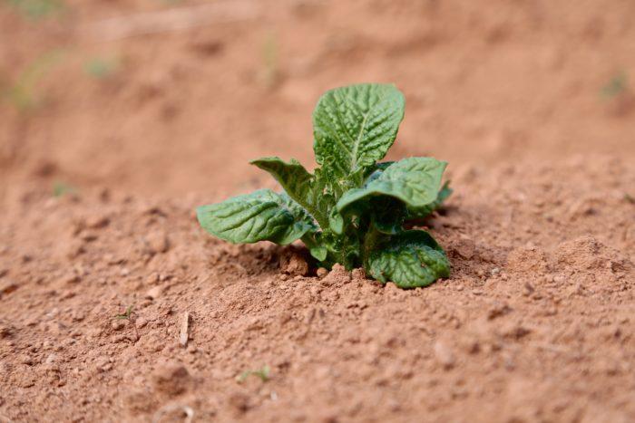 Freshly emerged potato plant at Farmboys Inc