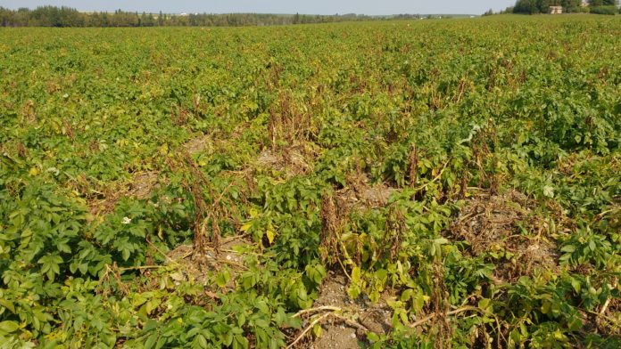 Potato field with Potato Early Dying