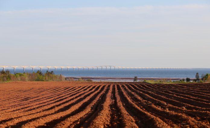 Potato field at Borden-Carleton, P.E.I.