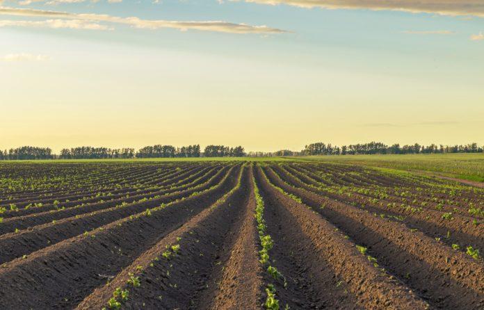 Freshly emerged potato field