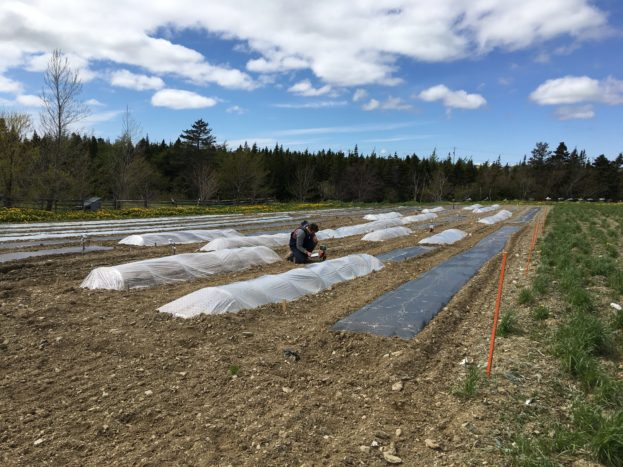 Low tunnels for green beans