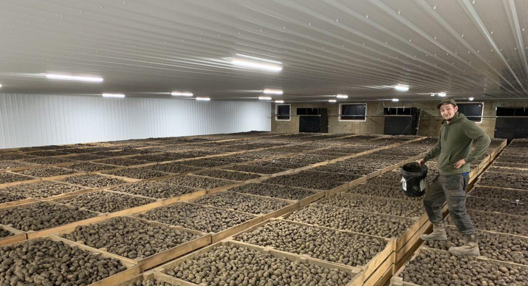 Seed potato storage