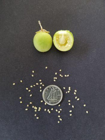True potato seeds