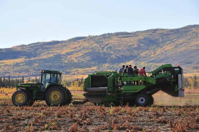 Yukon Grain Farm potato harvest