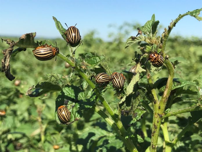 Adult Colorado potato beetles feeding