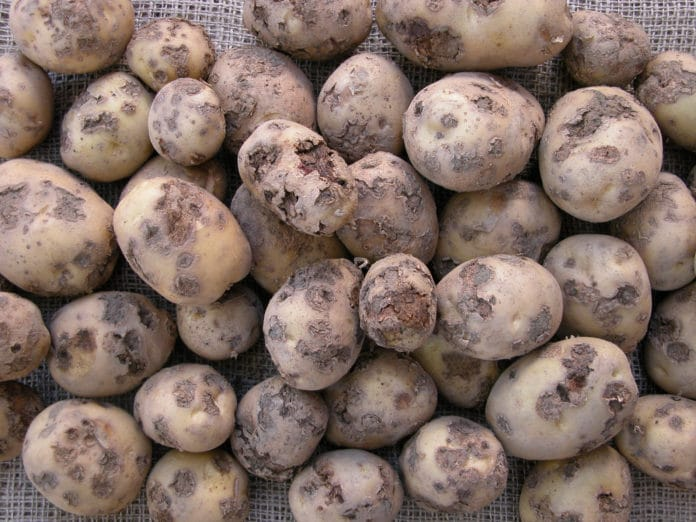 Cocktail of common scab on potatoes