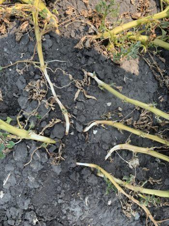 Sun scorched potato stem