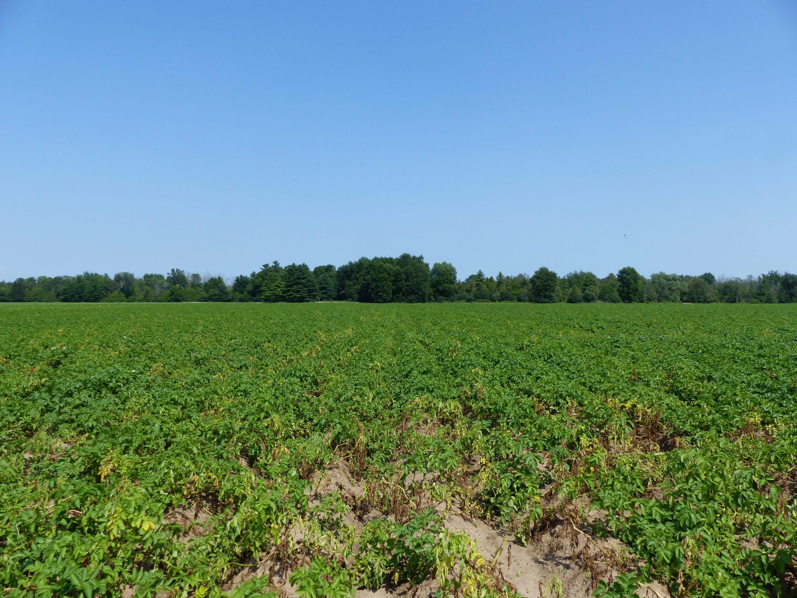 Verticillium wilt potato field