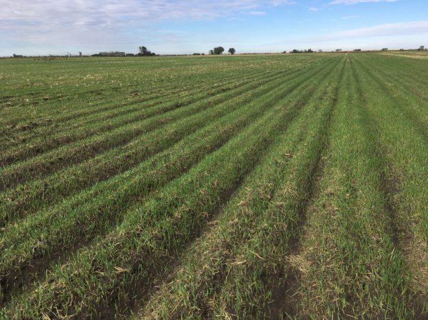 Volunteer barley crop