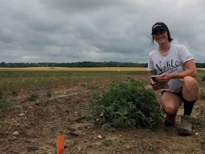 Natalie Kaiser assessing the resistance of potato lines in a field naturally infested with Colorado potato beetles